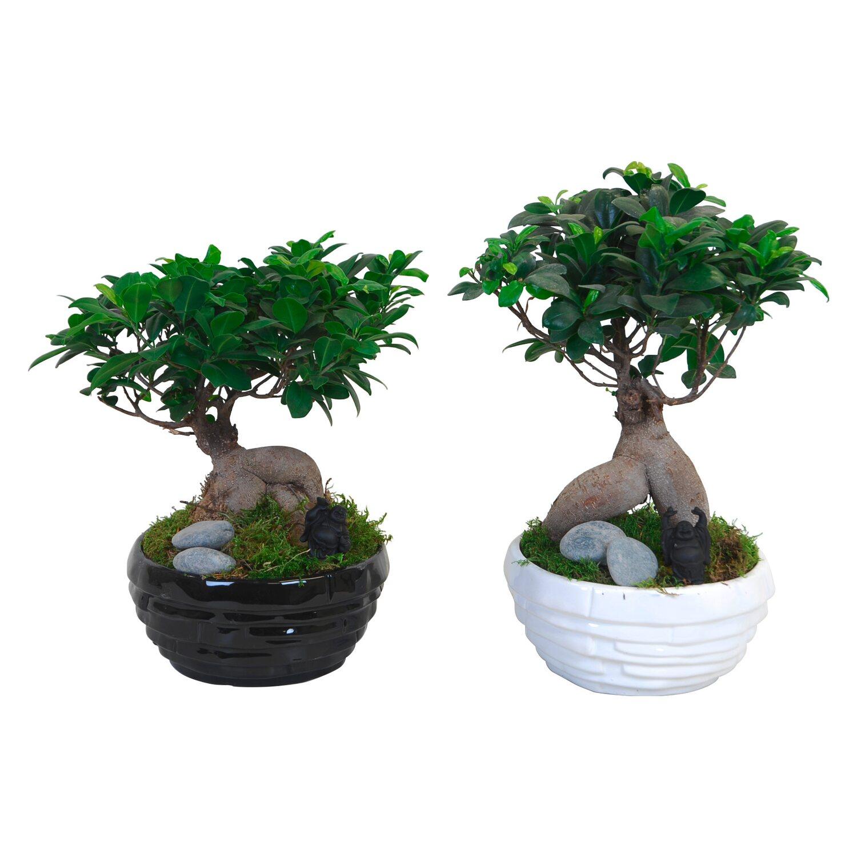 ficus ginseng bonsai buddha dekor ci val cser p tm r kb 22 cm v s rolni obi. Black Bedroom Furniture Sets. Home Design Ideas