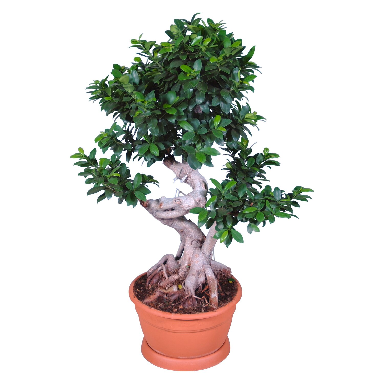 ficus ginseng bonsai cser p tm r kb 35 cm v s rolni obi. Black Bedroom Furniture Sets. Home Design Ideas
