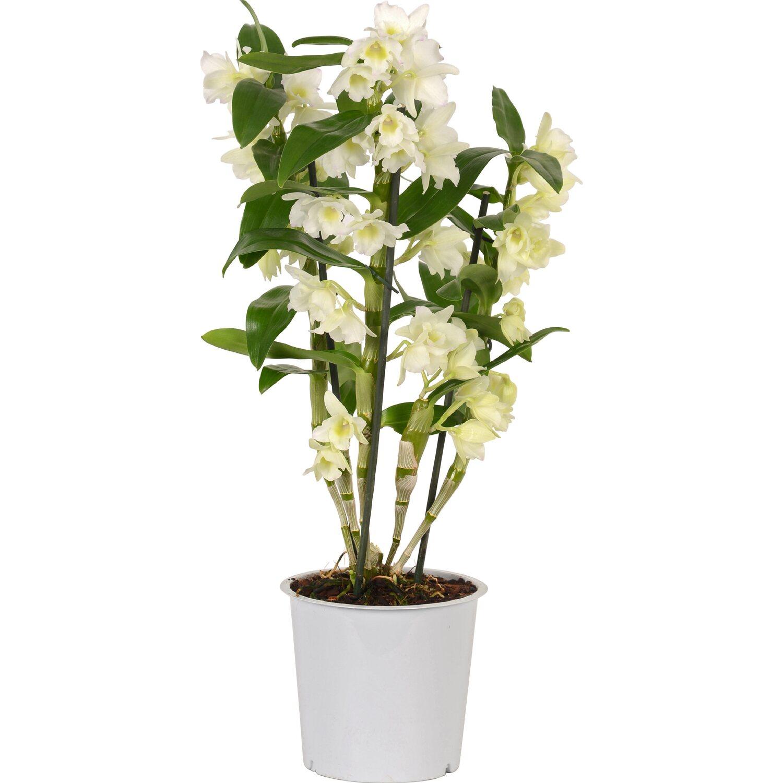 Nobilee bambusz orchidea egysz r feh r cser p tm r for Vaso orchidea