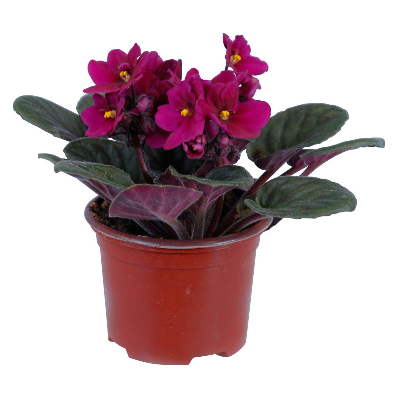 8 Könnyen kezelhető virágzó szobanövény