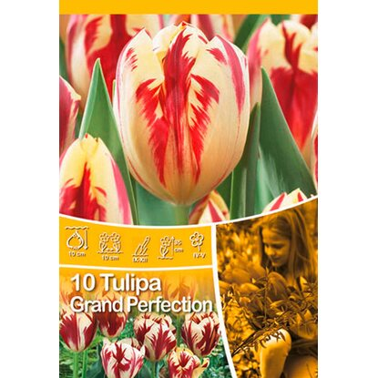 Grand Perfection tulipán